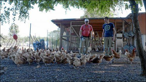 Die Hühner des Projekts 'Rent a Huhn' leben artgerecht im Freilandgehege auf dem Gelände der noris inklusion am Marienberg.