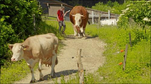 Viehzucht ist am Münzinghof ein wesentlicher Bestandteil der biologisch-dynamischen Landwirtschaft. Die Kühe sind hier nicht Nutztiere, sondern Kulturtiere.